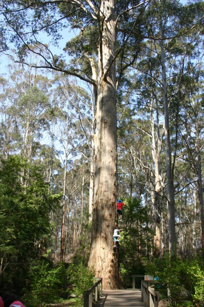 The Gloucester fire lookout tree in Gloucester National Park, 3 km south of Pemberton