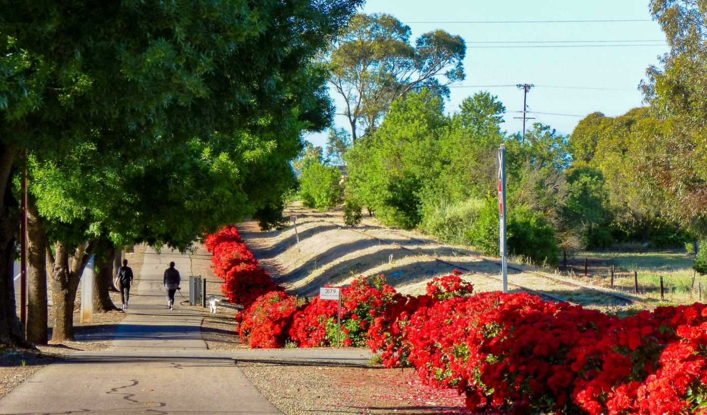 Trail Side Roses - Nuriootpa (2020)