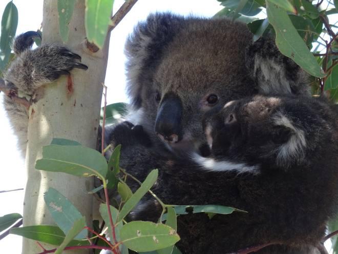 Amy Gillet Rail Trail – A Koala friendly trail